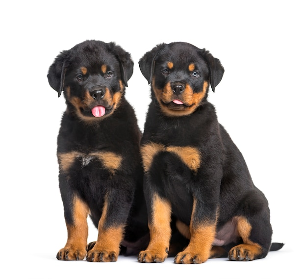 Два щенка ротвейлера сидят на белом фоне