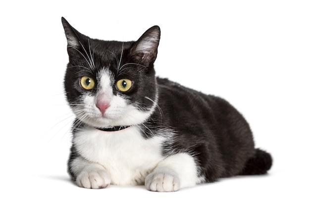 白い背景に対してカメラを見て混合された品種猫