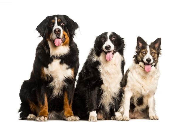 バーニーズマウンテンドッグボーダーコリーと白い背景に座っている混合品種の犬