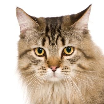 分離された美しい雑種または雑種猫の肖像画
