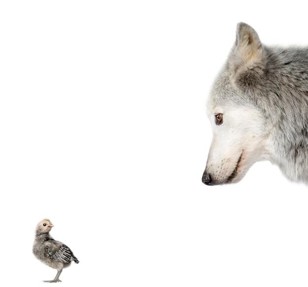 Волчья долина маккензи смотрит на цыпочку
