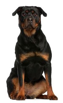 Ротвейлер сидит. портрет собаки изолированный