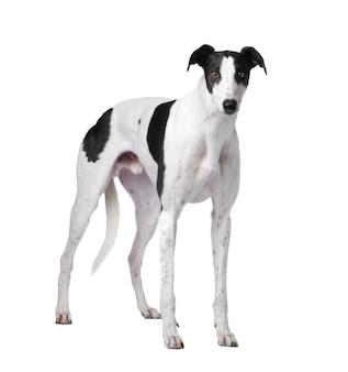 分離されたグレイハウンド犬の肖像画