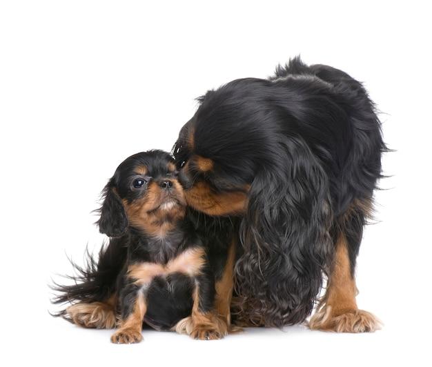 母キャバリアキングチャールズと彼女の子犬