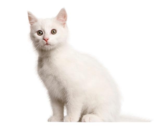 白い子猫雑種猫