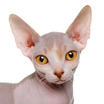 スフィンクスの子猫のクローズアップ