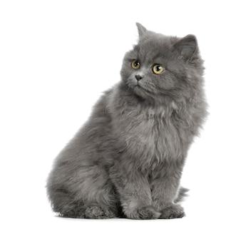 分離されたペルシャ猫の肖像画