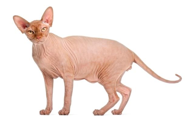 分離されたかわいいスフィンクス猫