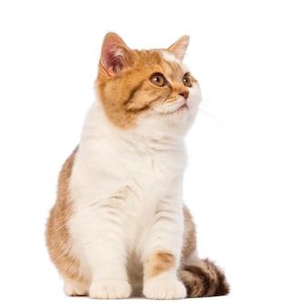 ブリティッシュショートヘアの子猫、座ってよそ見