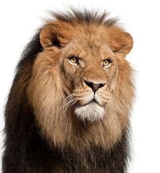 スタジオで白のライオン