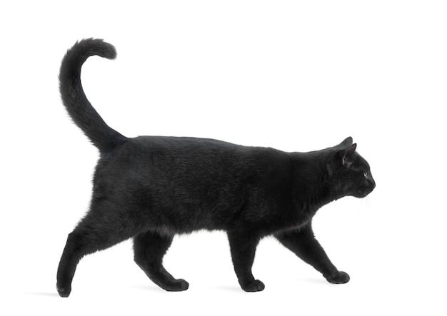 歩いて、白で隔離される黒猫の側面図