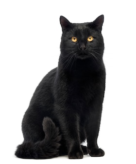 座っていると、白で隔離され、カメラを見て黒猫