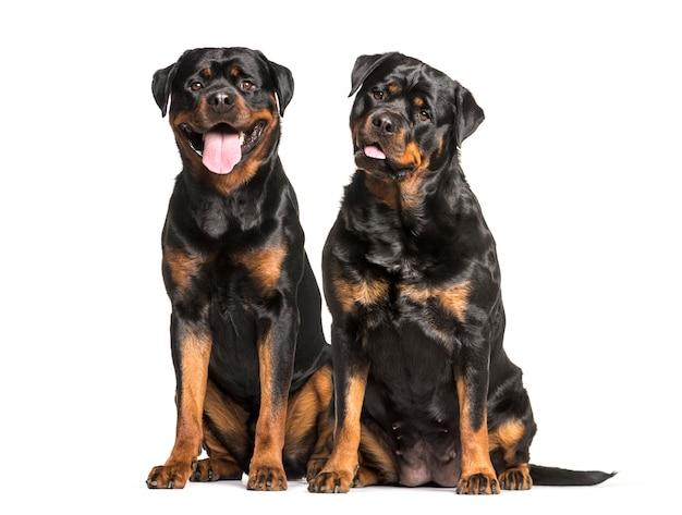 Собаки ротвейлера сидят и тяжело дышат, вырезают