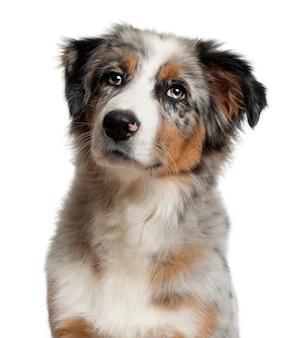 犬、子犬オーストラリアンシェパード