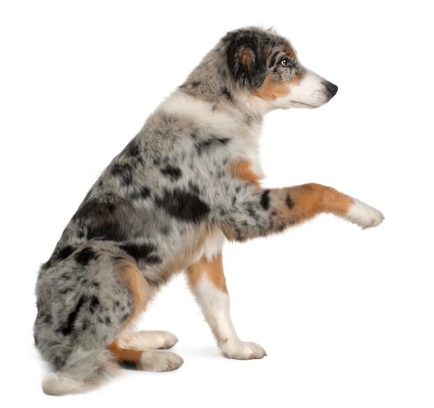 オーストラリアンシェパードの子犬