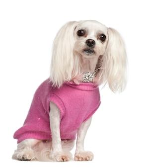 雑種犬、白い背景に座って