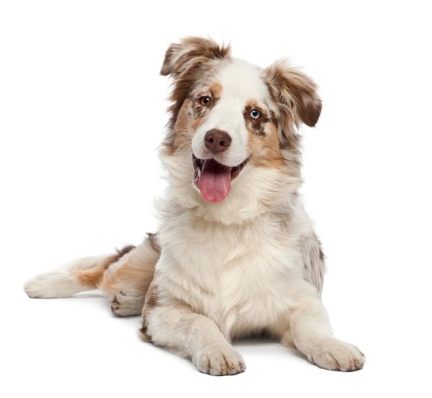 白い背景に、オーストラリアンシェパードの子犬の肖像画