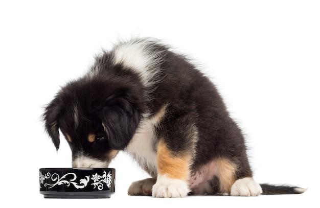 Австралийская овчарка щенок сидит и ест из миски на белом фоне