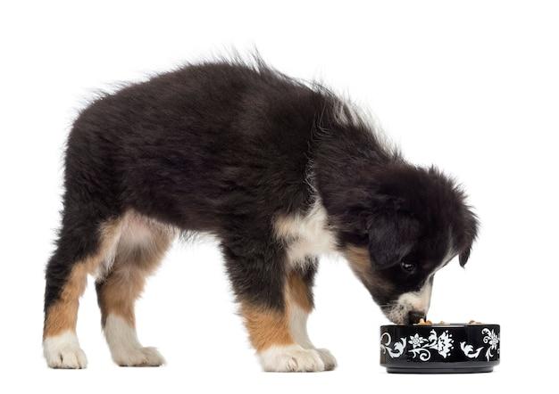 Австралийская овчарка щенок, стоя и ест из миски на белом фоне