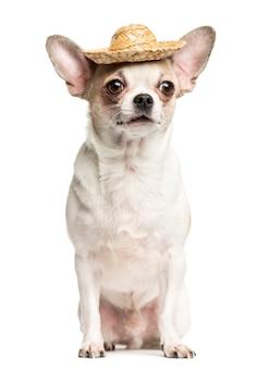 チワワに座って、白で隔離麦わら帽子をかぶっています。