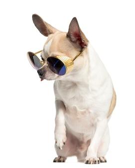 チワワに座ってサングラスを着用し、白で隔離を見下ろして