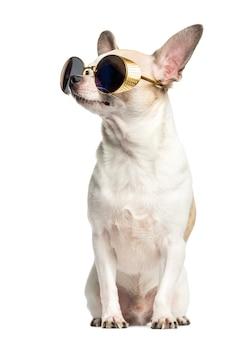 チワワに座ってサングラスを着用し、白で隔離される見上げる