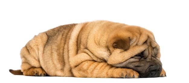 白で隔離される横になっているシャーペイ子犬