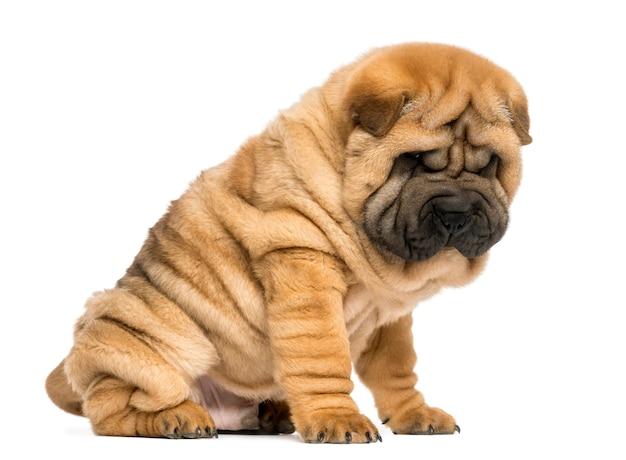 シャーペイの子犬に座って、白で隔離を見下ろして