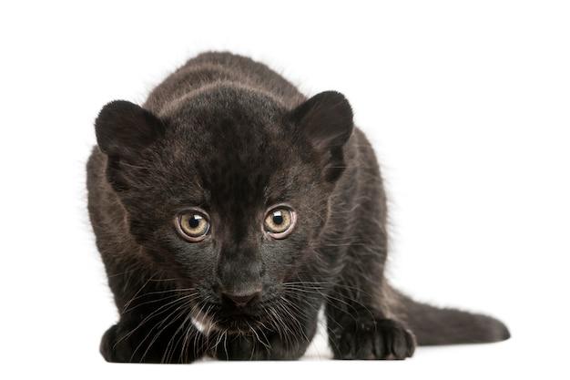 Детёныш черного леопарда пялился и крался