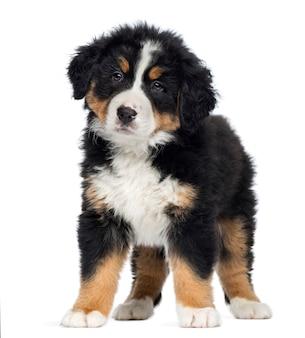 バーニーズマウンテンドッグ子犬立って、上に分離