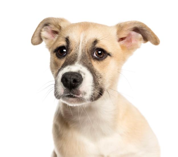 ハスキーボクサーの混合品種の子犬のクローズアップ