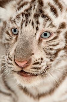 白虎の子のクローズアップ