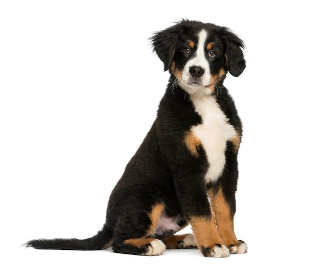 白で隔離され、若いバーニーズマウンテン犬
