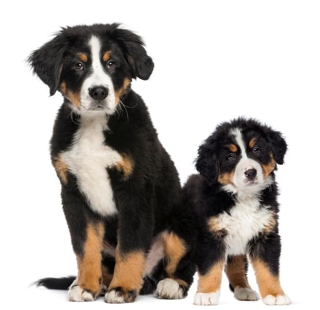 若いバーニーズマウンテン犬と子犬の次