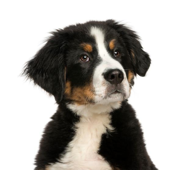 白で隔離され、若いバーニーズマウンテン犬のクローズアップ