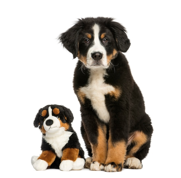 テディと座っている若いバーニーズマウンテン犬