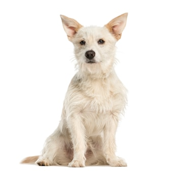 雑種犬、座って、白で隔離