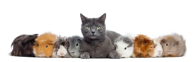白で隔離される行の猫とモルモット