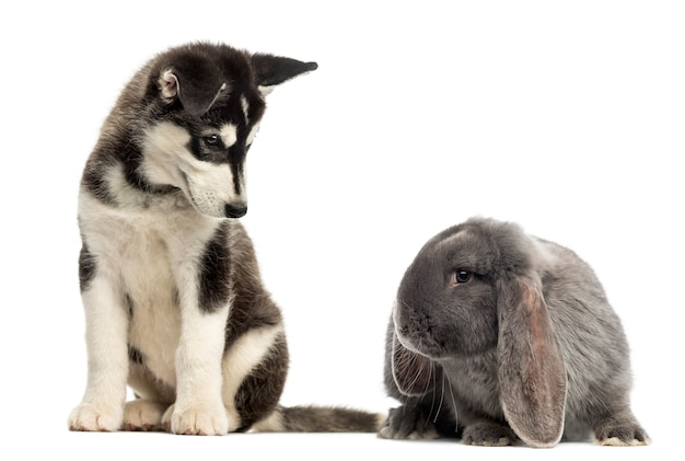 Щенок хаски маламут сидит и смотрит на кролика