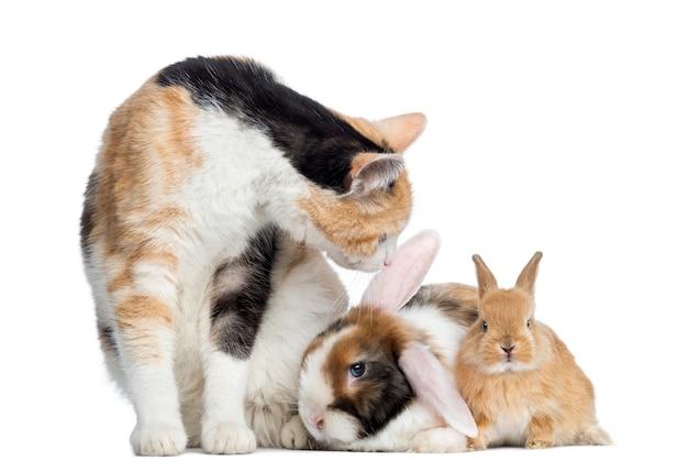 Европейская короткошерстная кошка с кроликами на белом фоне