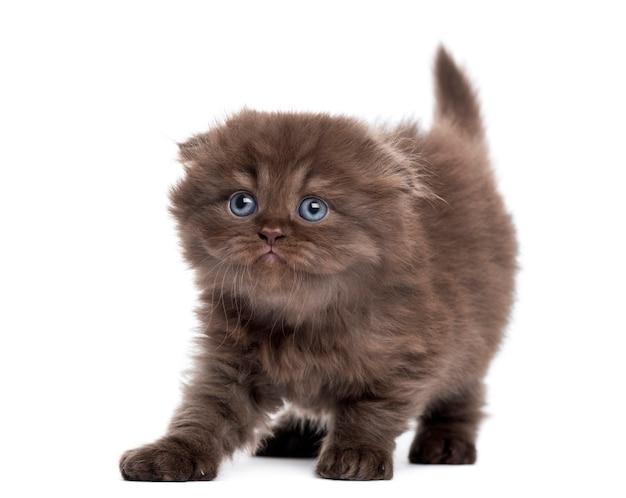 ハイランドフォールド子猫白で隔離される上向きに見てストレッチ