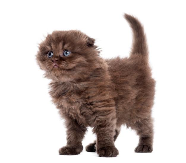 ハイランド折り子猫立って上向きに白で隔離