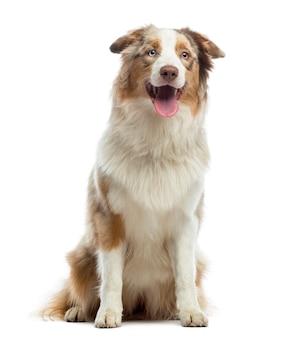 オーストラリアンシェパードの子犬、座って、あえぎ、白で隔離