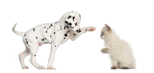 ダルマタンの子犬と子猫のハイタッチ