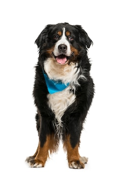 青いスカーフを身に着けているバーニーズマウンテンドッグ
