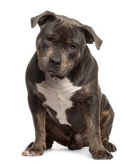 Американский питбульский щенок сидит