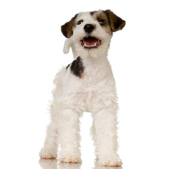 Изолированный портрет собаки фокстерьера