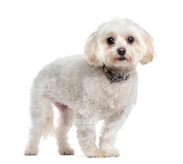 Мальтийская собака стоя