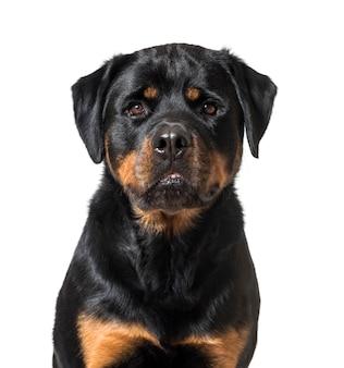 ロットワイラー犬のクローズアップ
