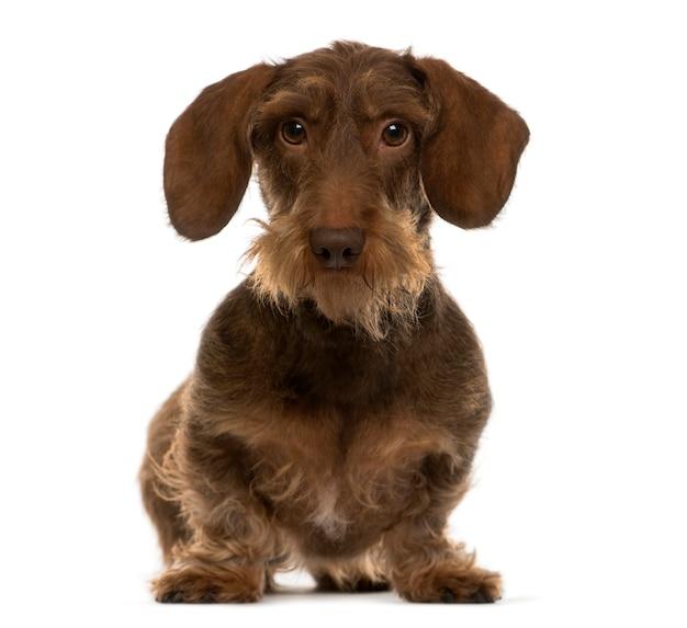 ダックスフント座っているダックスフント犬